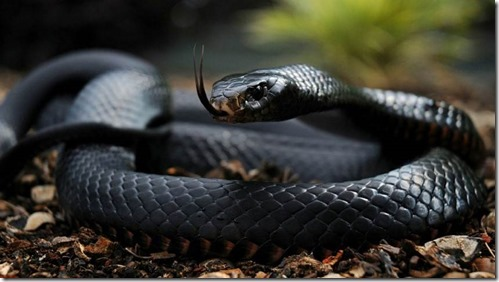 Black-Mamba (Small)