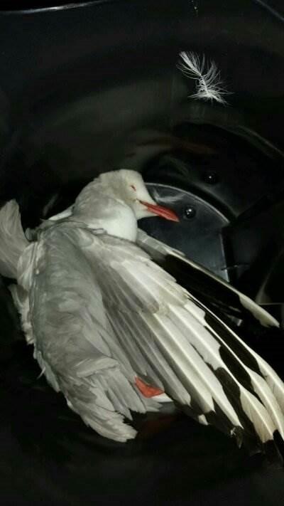 lorenzo-tabrak-burung.jpg