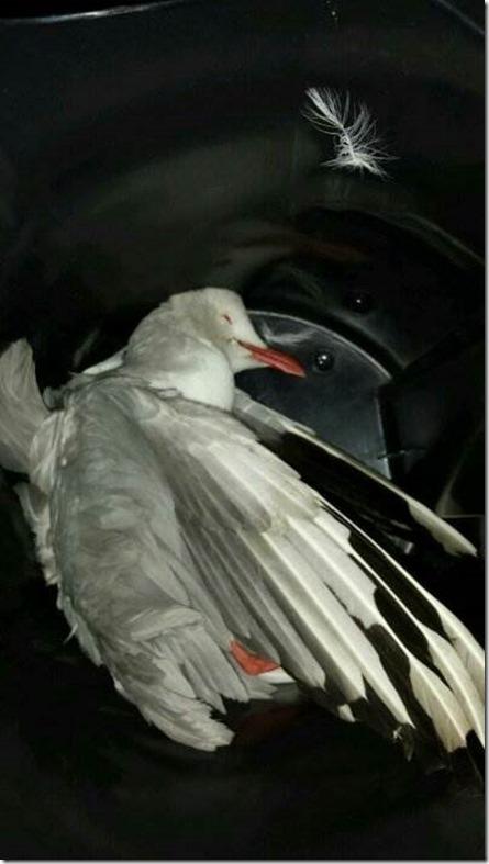 lorenzo tabrak burung