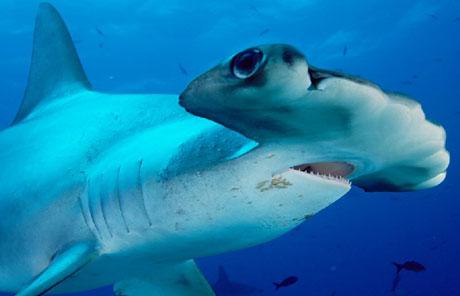 hiu kepala martil