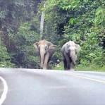 Terganggu Suara Knalpot, Kawanan gajah ini Keroyok Pengendara Yamaha Jupiter MX KING 150 00 pertamax7.com