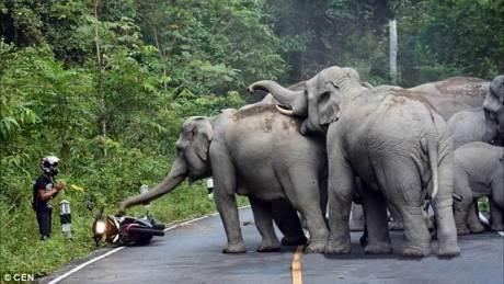 Terganggu Suara Knalpot, Kawanan gajah ini Keroyok Pengendara Yamaha Jupiter MX KING 150 02 pertamax7.com