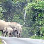 Terganggu Suara Knalpot, Kawanan gajah ini Keroyok Pengendara Yamaha Jupiter MX KING 150 03 pertamax7.com