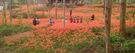 Miris, Taman Bunga Amarillys yang indah di Pathuk Gunung Kidul Itu Rusak DI Injak Alay-er 01 Pertamax7.com