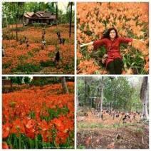 Miris,-Taman-Bunga-Amarillys-yang-indah-di-Pathuk-Gunung-Kidul-Itu-Rusak-DI-Injak-Alay-er-02-Pertamax7.com-1