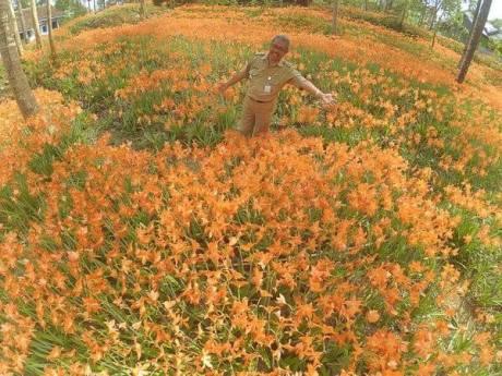 Miris, Taman Bunga Amarillys yang indah di Pathuk Gunung Kidul Itu Rusak DI Injak Alay-er 02 Pertamax7.com