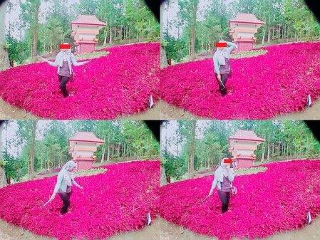 Baru Saja Di Resmikan Gubernur Jawa Tengah, Taman Bunga Kebun Raya Baturraden Di Injak-Injak Pasukan Selfie 03 Pertamax7.com