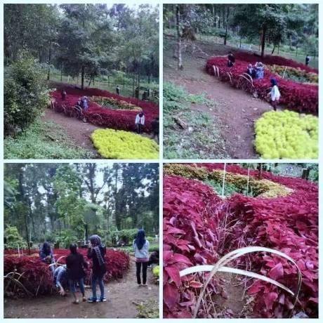Baru Saja Di Resmikan Gubernur Jawa Tengah, Taman Bunga Kebun Raya Baturraden Di Injak-Injak Pasukan Selfie 06 Pertamax7.com