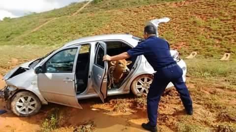 Pakai Sabuk Pengaman, Sapi Ini Selamat Saat Kecelakaan Naik Sedan Toyota Vios pertamax7.com 3